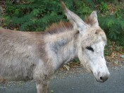 Since I don't have a picture of an ox the donkey from St. John will have to do
